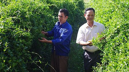 រូបសណ្ឋានដាំថ្នាំបុរាណស្អាតតាមស្តងដាអន្តរជាតិនៅស្រុក Hai Hau ខេត្ត Nam Dinh  - ảnh 2