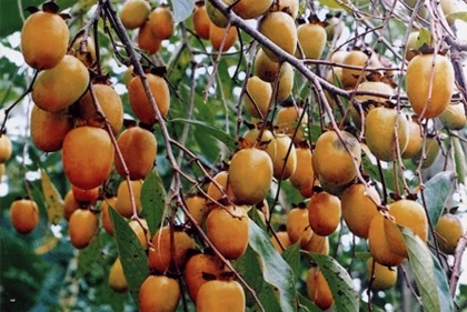 Le kaki - un fruit incontournable de l'automne - ảnh 3