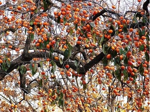 Le kaki - un fruit incontournable de l'automne - ảnh 5