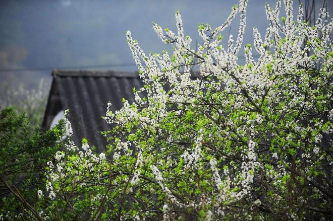 Môc Châu, un plateau fleuri toute l'année - ảnh 2