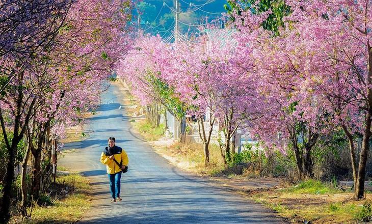 第一次大叻樱花节即将举行 - ảnh 1