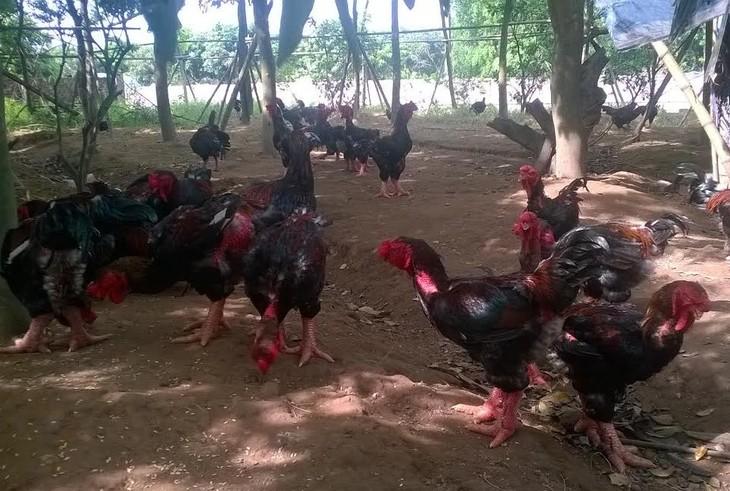 鸡年谈鸡 - ảnh 2