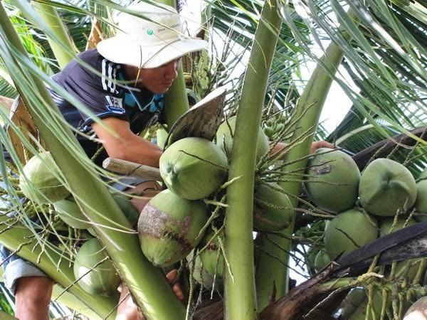 茶荣省干椰子价格居高不下 - ảnh 1