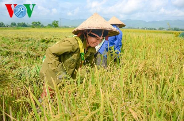 以国际标准生产稻米  提高竞争力 - ảnh 1
