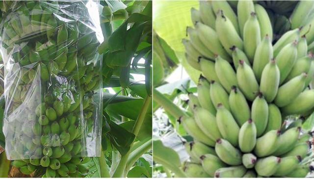 芹苴市学生以香蕉皮成功配制用于保存蔬果的生物制品 - ảnh 1