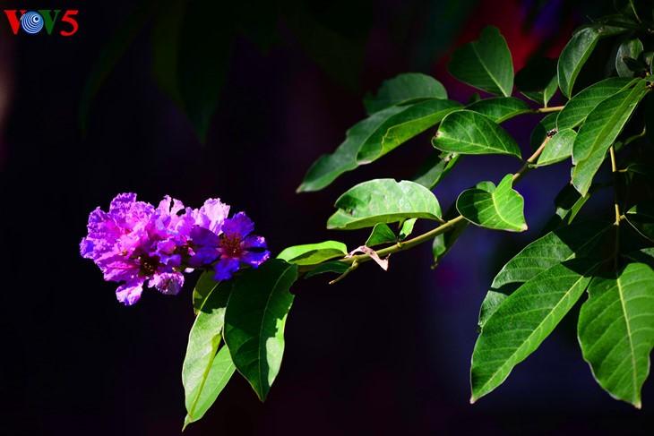 河内缤纷多彩的夏季花卉 - ảnh 3