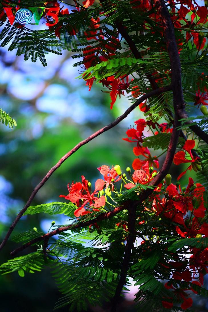 河内缤纷多彩的夏季花卉 - ảnh 7