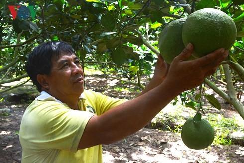 Bauern schaffen Wohlstand durch Anbau von Pampelmusen - ảnh 1