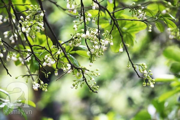 Giêng hai hoa bưởi  - ảnh 1