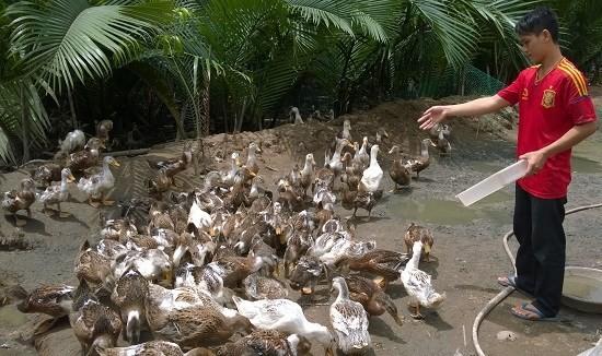 Đồng bằng sông Cửu Long phát triển đàn vịt biển để thích ứng với biến đổi khí hậu  - ảnh 1