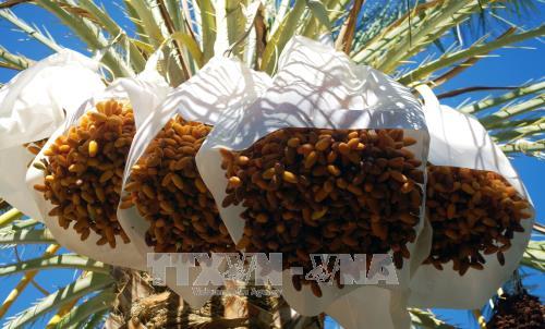 Algeria muốn xuất khẩu chà là sang Việt Nam - ảnh 1