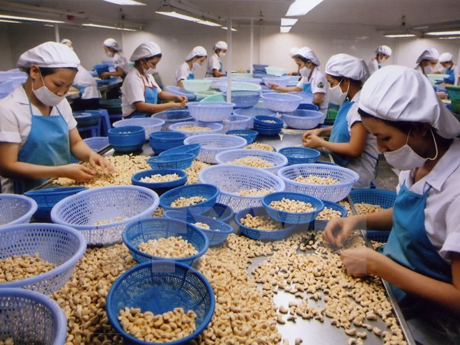 Cashewnüsse Vietnams entsprechen der Hälfte des weltweiten Exports - ảnh 1