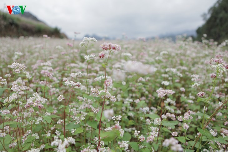 Die Schönheit des Buchweizen im Hochgebirge - ảnh 1