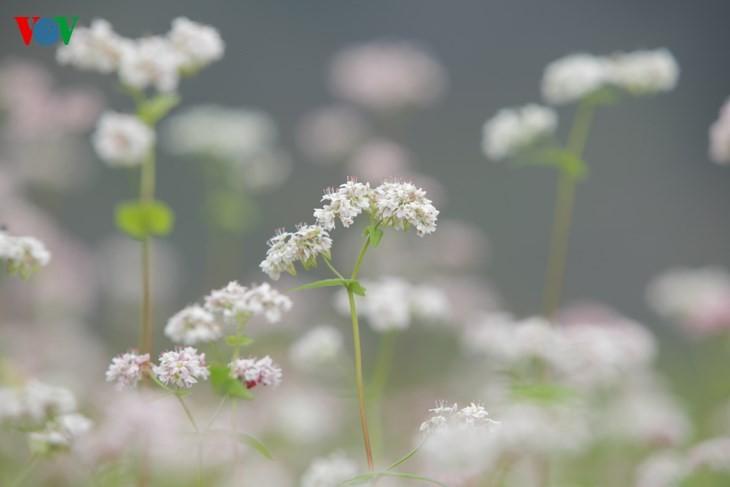 Die Schönheit des Buchweizen im Hochgebirge - ảnh 11
