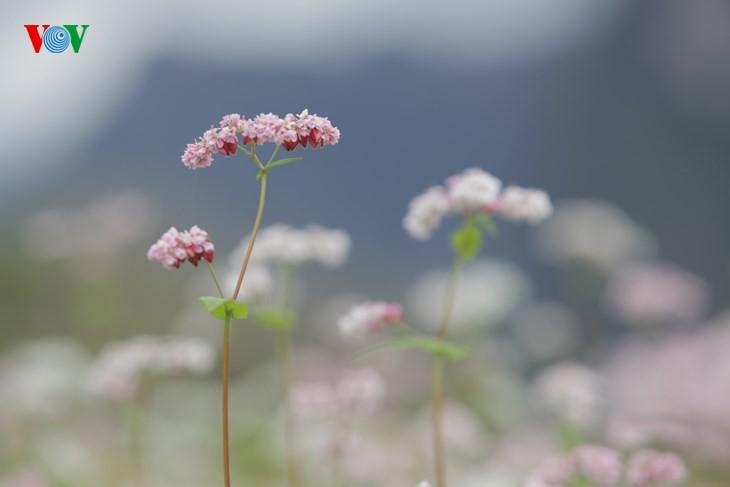 Die Schönheit des Buchweizen im Hochgebirge - ảnh 4