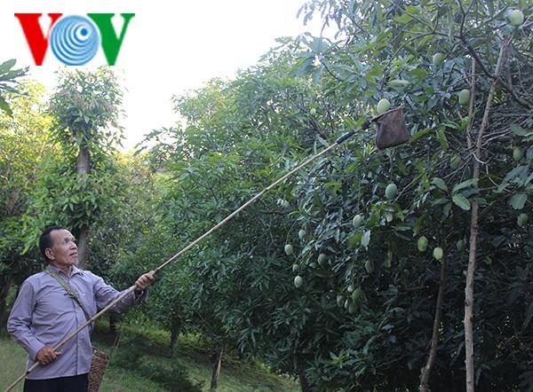 """Bauern in Son La erhalten die Obstsorte """"Mango-Yen Chau"""" - ảnh 1"""