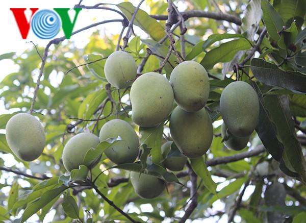 """Bauern in Son La erhalten die Obstsorte """"Mango-Yen Chau"""" - ảnh 2"""