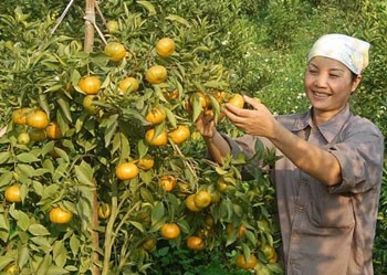 Dung Phong prioritizes orange growing to boost new rural development - ảnh 2