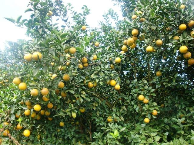 Dung Phong prioritizes orange growing to boost new rural development - ảnh 1