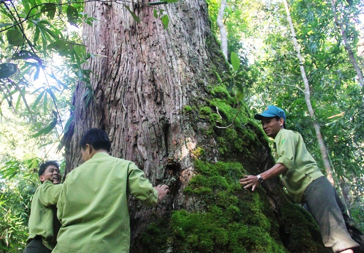 A population of perennial fokienia trees in Quang Nam recognized as heritage trees - ảnh 1