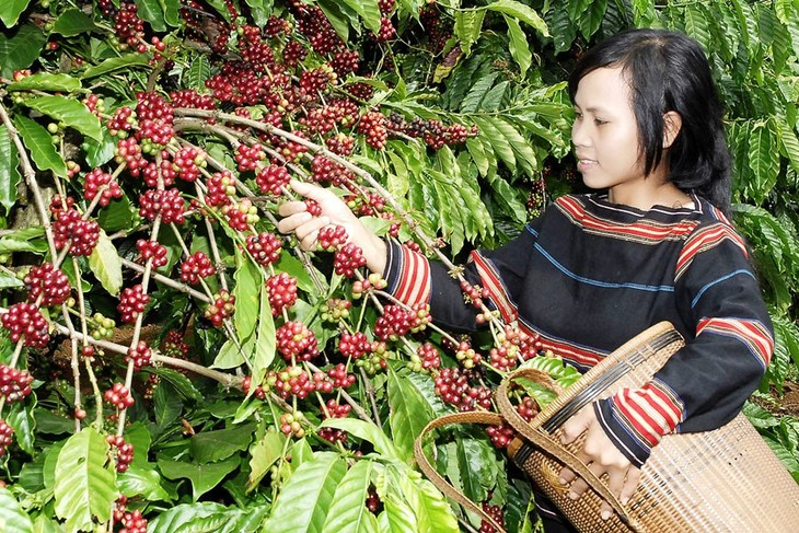 Ensuring sustainable growth of Vietnamese coffee - ảnh 1