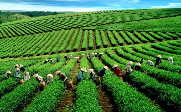 Vietnam boosts tea exports to the US - ảnh 1