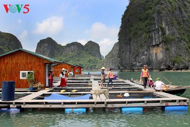 Nuevos medios de subsistencia para pescadores de la Bahía de Ha Long - ảnh 1