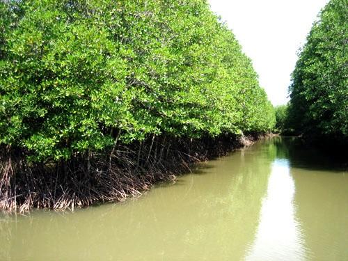 Un modelo de gestión de manglares litorales ayuda a recuperar el escudo frente al desastre natural - ảnh 1