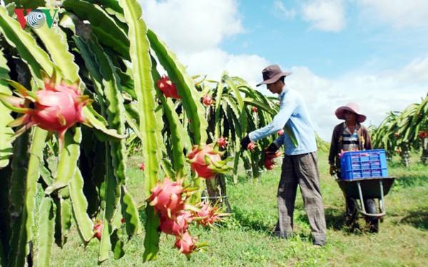 La provincia de Binh Thuan busca exportar pitaya de alta calidad al mercado mundial - ảnh 3