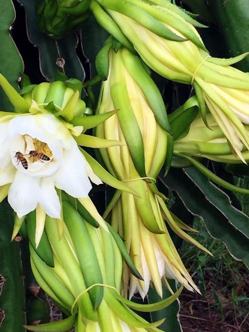 La provincia de Binh Thuan busca exportar pitaya de alta calidad al mercado mundial - ảnh 2