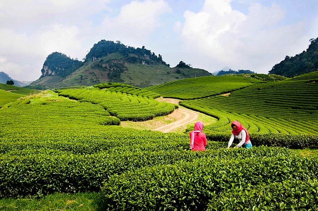 Moc Chau- daerah padang rumput  yang berbunga  sepanjang tahun - ảnh 1