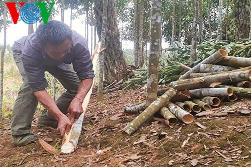 La canela ayuda a agricultores de Bao Yen a prosperar en tierra natal - ảnh 2