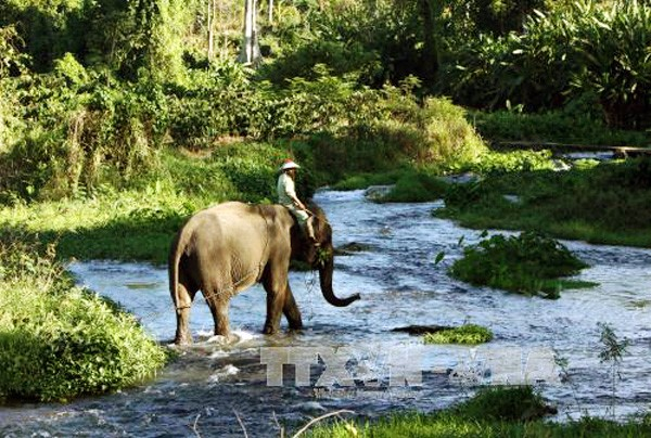 La preservación urgente de elefantes en la provincia altiplana de Dak Lak - ảnh 1