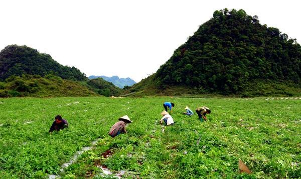 Agricultores de Quan Ba prospera con el cultivo de plantas medicinales - ảnh 2