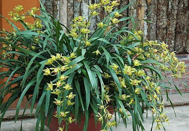 Compatriotas de Ta Phin salen de la pobreza gracias al cultivo de orquídea Cymbidium - ảnh 2