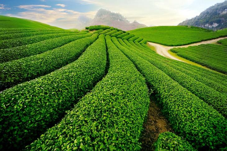La provincia de Son La avanza gracias a la producción agrícola limpia y segura - ảnh 2