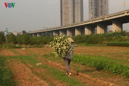 Hermosas margaritas de ojo de buey en el pueblo de flores de Nhat Tan - ảnh 9