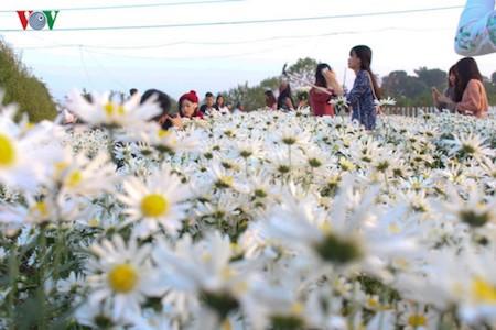 Hermosas margaritas de ojo de buey en el pueblo de flores de Nhat Tan - ảnh 10