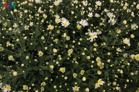 Hermosas margaritas de ojo de buey en el pueblo de flores de Nhat Tan - ảnh 11
