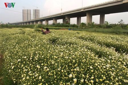 Hermosas margaritas de ojo de buey en el pueblo de flores de Nhat Tan - ảnh 12