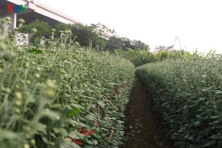 Hermosas margaritas de ojo de buey en el pueblo de flores de Nhat Tan - ảnh 2