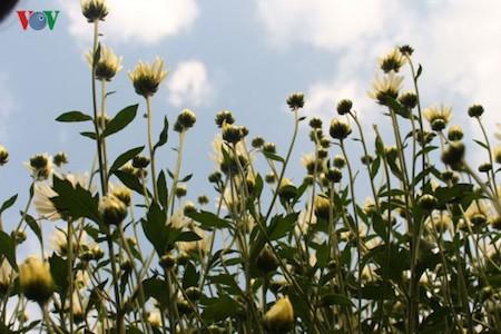 Hermosas margaritas de ojo de buey en el pueblo de flores de Nhat Tan - ảnh 3