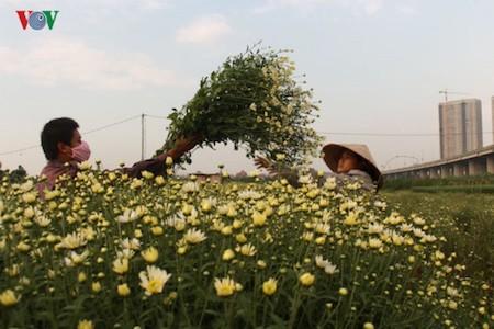Hermosas margaritas de ojo de buey en el pueblo de flores de Nhat Tan - ảnh 4