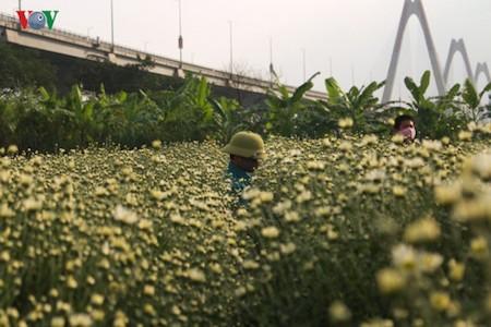 Hermosas margaritas de ojo de buey en el pueblo de flores de Nhat Tan - ảnh 5