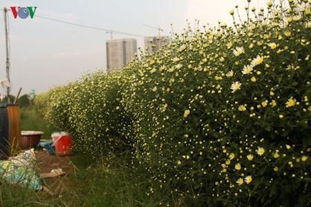 Hermosas margaritas de ojo de buey en el pueblo de flores de Nhat Tan - ảnh 6
