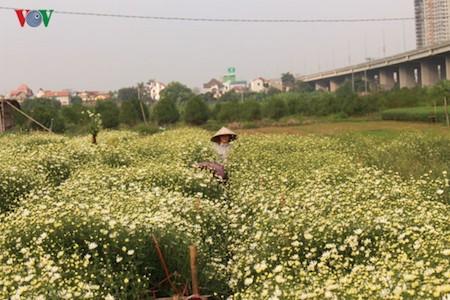 Hermosas margaritas de ojo de buey en el pueblo de flores de Nhat Tan - ảnh 7