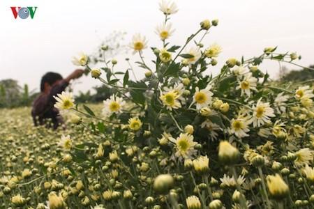 Hermosas margaritas de ojo de buey en el pueblo de flores de Nhat Tan - ảnh 8