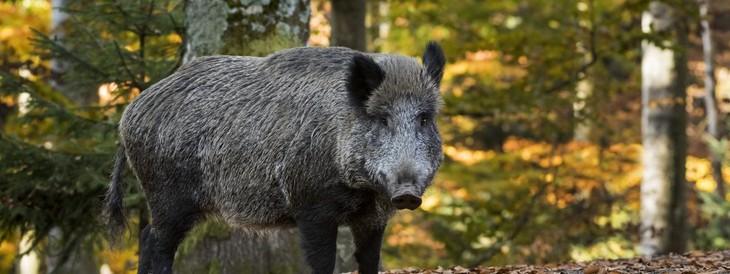 Belgique : deux cas de peste porcine africaine confirmés à quelques kilomètres de la frontière française - ảnh 1