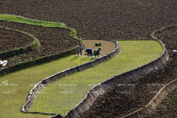 Steigerung der Anzahl der Ernten auf den Terrassenfeldern - ảnh 1