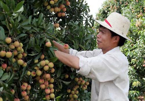 Việt Nam sẽ xuất khẩu lô vải đầu tiên sang Mỹ trong tháng 5 - ảnh 1